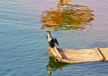 Cormorano - legano il collo per non far ingoiare il pesce che da soli pescano tuffandosi